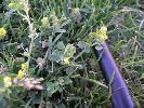 Photo #3 of Medicago lupulina