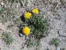 Photo #3 of Taraxacum officinale