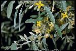 Photo #2 of Elaeagnus angustifolia