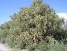 Photo #3 of Tamarix chinensis