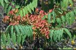 Photo #4 of Ailanthus altissima
