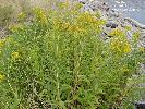 Photo #3 of Solidago canadensis