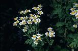 Photo #1 of Tanacetum parthenium