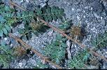Photo #2 of Tribulus terrestris
