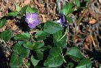 Photo #3 of Vinca major