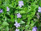 Photo #1 of Vinca minor